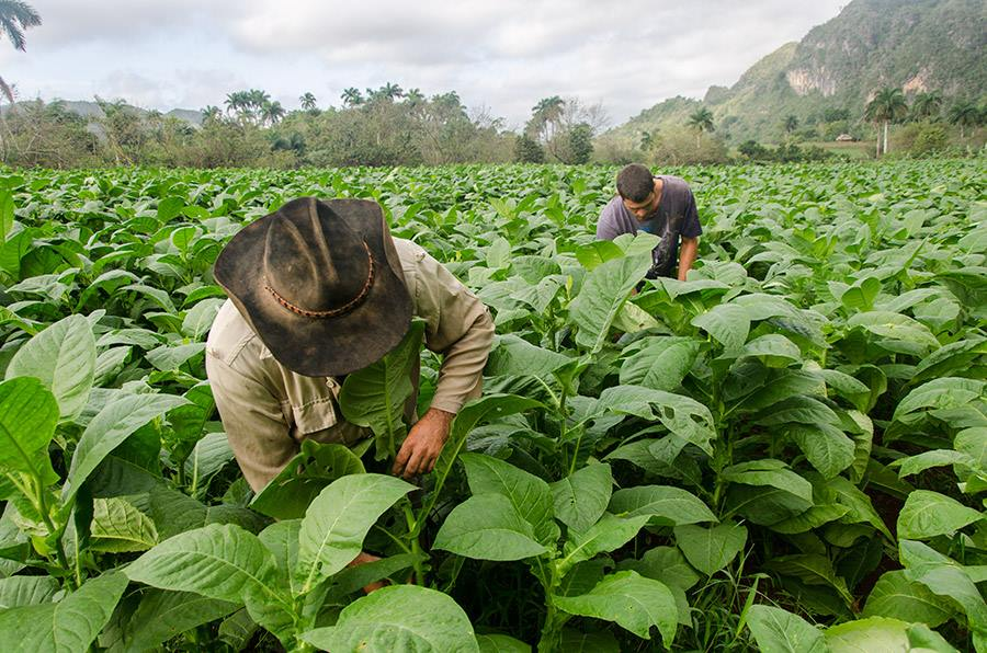 tobacco fields in my photo tours to Cuba